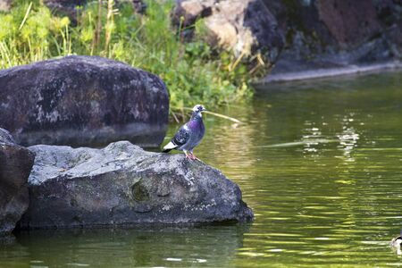 pigeon stand on rock near lake photo
