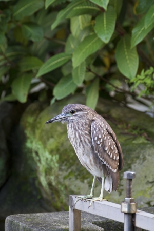 Black-crowned Night Heron Immatures rest near lake,Nycticorax nycticorax photo