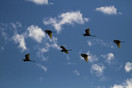 egret: silhoutted flying bird against blue cloudy sky,little egret