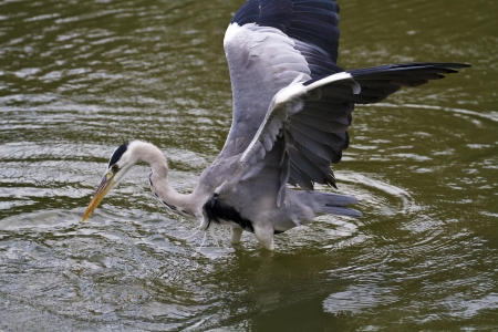 close view of Grey Heron spread wings at lake,Ardea cinerea photo