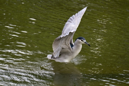 close view of Black-crowned Night Heron in flight,Nycticorax nycticorax photo
