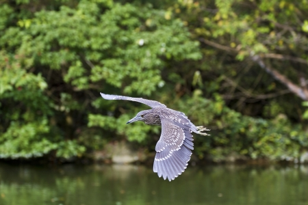 close view of Immatures Black-crowned Night Heron in flight,Nycticorax nycticorax photo