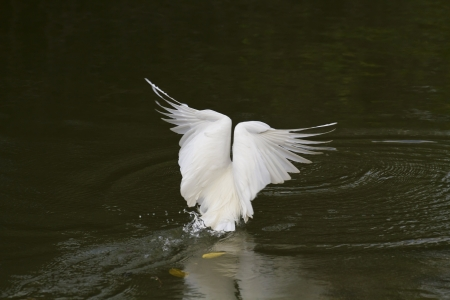 close view of Great Egret spread wings at lake,Ardea alba photo