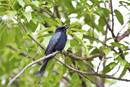 close view of a Bronzed Drongo stand on tree,Dicrurus aeneus Stock Photo - 17180905