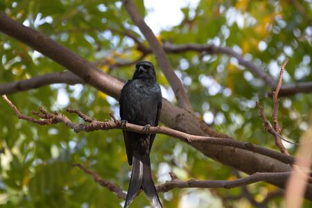 bronzed: close view of a Bronzed Drongo stand on tree,Dicrurus aeneus