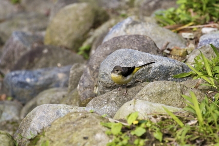 motacilla: close view of Gray Wagtail in wilderness,Motacilla cinerea