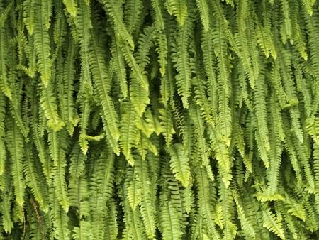 green fern as background or texture photo