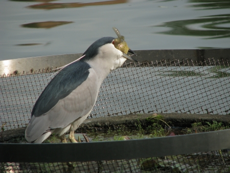 Night heron swallow a big fish photo