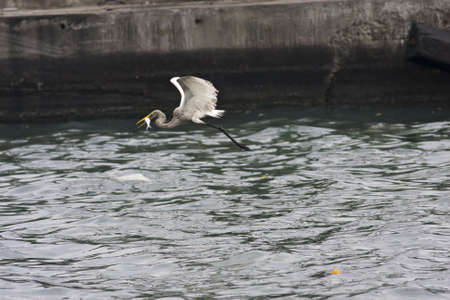 intermediate: Intermediate Egret catch a fish in flight in port,Egretta intermedia