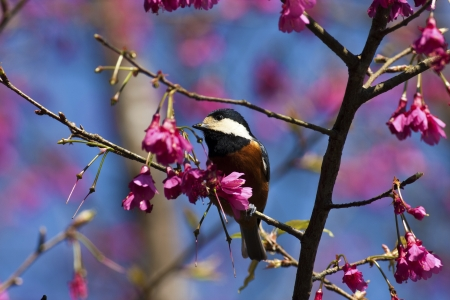 Varied Tit with pink cherry blossoms in forest,Parus varius photo