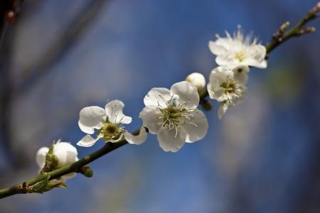 close view of bloom white plum blossom photo