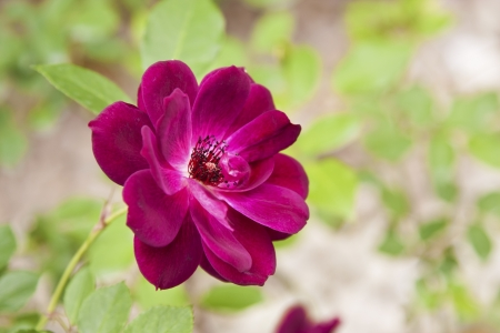 close view of colorful rose in garden Stock Photo