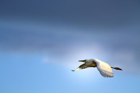 intermediate: Intermediate Egret in flight against cloudy sky,Egretta intermedia