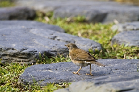 Pale Thrush in natural habitat,Turdus pallidus Stock Photo - 17634860