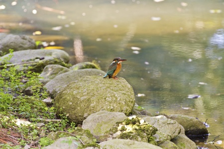 alcedo: common kingfisher perch on branch in natural habitat,Alcedo atthis Stock Photo