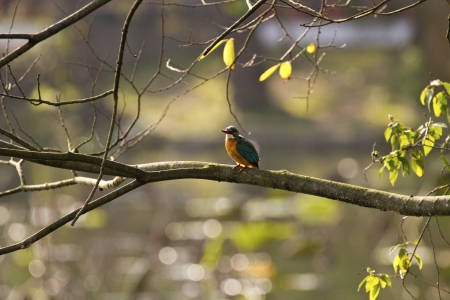 common kingfisher perch on branch in natural habitat,Alcedo atthis Stock Photo - 17634834