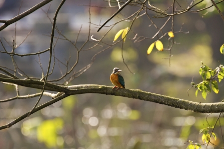 common kingfisher perch on branch in natural habitat,Alcedo atthis Stock Photo - 17634790