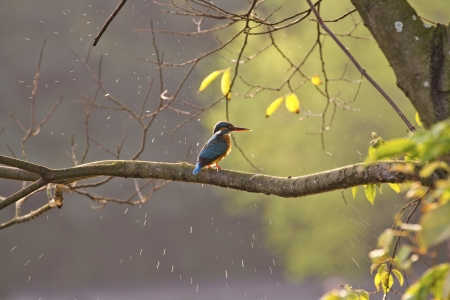 common kingfisher perch on branch in natural habitat,Alcedo atthis Stock Photo - 17634699