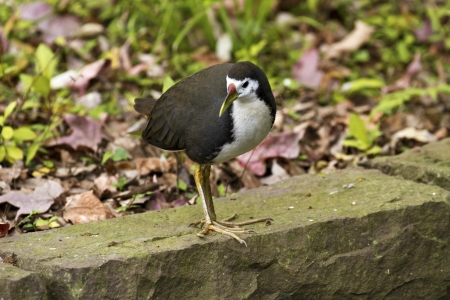 White-breasted Waterhen in natural habitat,Amaurornis phoenicurus photo
