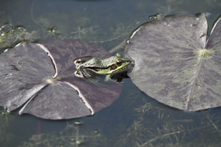 eye pad: green pond frog in natural habitat