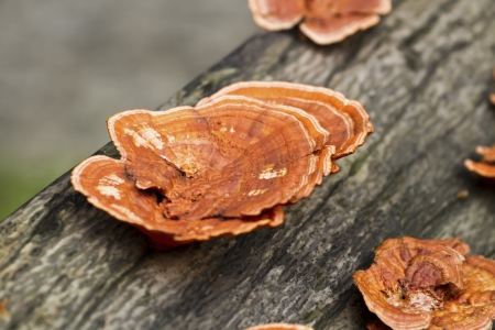 lucidum: beautiful plants grow on wooden branch ,glossy ganoderma, Ganoderma lucidum