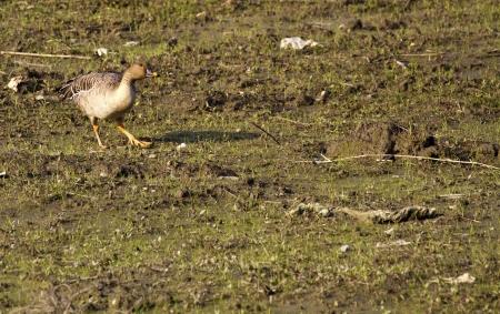 Bean Goose in natural habitat,Anser fabalis Stock Photo - 17633069
