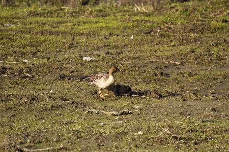 fabalis: Bean Goose in natural habitat,Anser fabalis