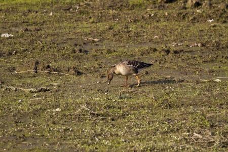 Bean Goose in natural habitat,Anser fabalis Stock Photo - 17634973