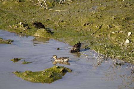 Eurasian Teal in natural habitat,Anas crecca Stock Photo - 17634895