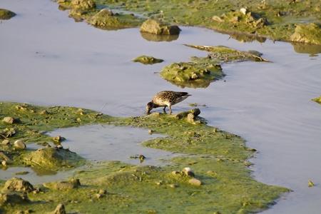 Eurasian Teal in natural habitat,Anas crecca Stock Photo - 17634200
