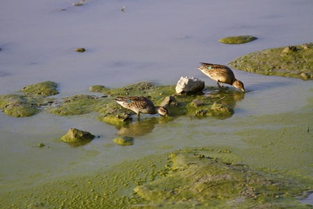 Eurasian Teal in natural habitat,Anas crecca Stock Photo - 17634540