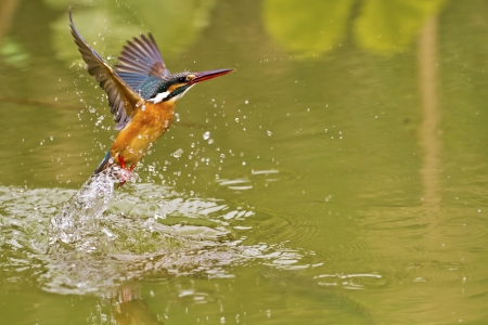 common kingfisher: common kingfisher catch fish in flight in natural habitat,Alcedo atthis Stock Photo