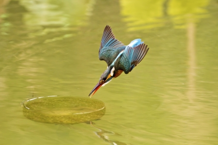 common kingfisher catch fish in flight in natural habitat,Alcedo atthis photo