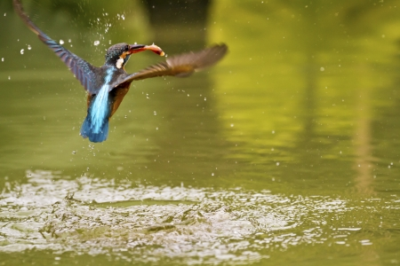 alcedo: common kingfisher catch fish in flight in natural habitat,Alcedo atthis Stock Photo