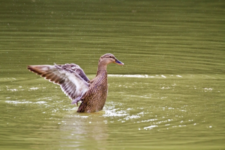 female Mallard spread wings on lake,Anas platyrhynchos Stock Photo - 18044115