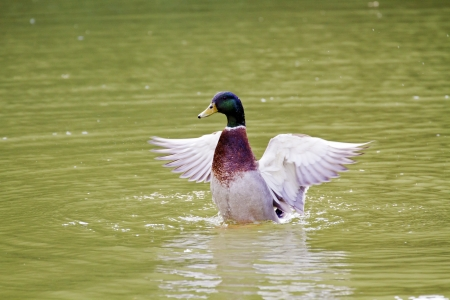 male Mallard spread wings on lake,Anas platyrhynchos Stock Photo - 18043993