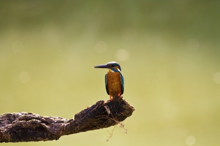 male common kingfisher in natural habitat,Alcedo atthis Stock Photo - 18044001