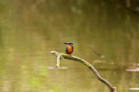 male common kingfisher in natural habitat,Alcedo atthis Stock Photo - 18044097