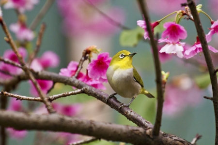 Japanese White-eye attract honey on cerry blossom tree branch,Zosterops japonicus photo