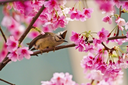 Taiwan Yuhina attract honey of pink cherry blossoms tree in forest ,Yuhina brunneiceps Stock Photo - 18044068
