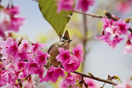 Taiwan Yuhina attract honey of pink cherry blossoms tree in forest ,Yuhina brunneiceps Stock Photo - 18044044