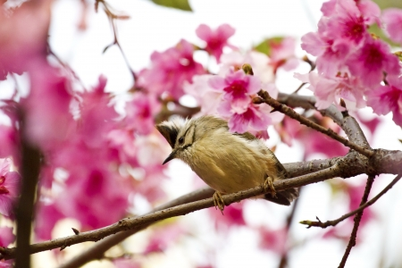 Taiwan Yuhina attract honey of pink cherry blossoms tree in forest ,Yuhina brunneiceps photo