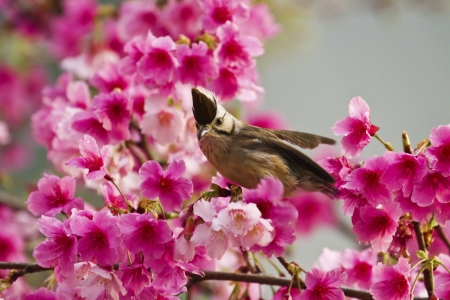 Taiwan Yuhina attract honey of pink cherry blossoms tree in forest ,Yuhina brunneiceps Stock Photo - 18044107