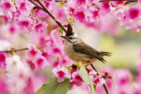 Taiwan Yuhina attract honey of pink cherry blossoms tree in forest ,Yuhina brunneiceps