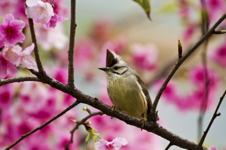 Taiwan Yuhina attract honey of pink cherry blossoms tree in forest ,Yuhina brunneiceps Stock Photo - 18044071