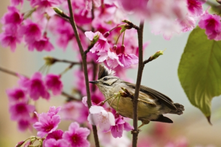 Taiwan Yuhina attract honey of pink cherry blossoms tree in forest ,Yuhina brunneiceps Stock Photo - 18044038
