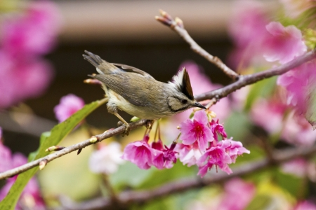 Taiwan Yuhina attract honey of pink cherry blossoms tree in forest ,Yuhina brunneiceps Stock Photo - 18044042