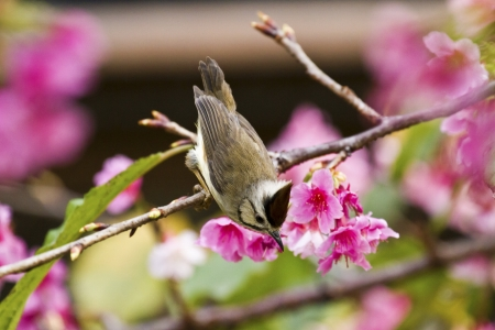 Taiwan Yuhina attract honey of pink cherry blossoms tree in forest ,Yuhina brunneiceps Stock Photo - 18044052