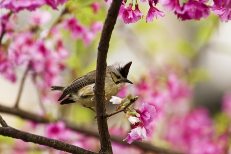 Taiwan Yuhina attract honey of pink cherry blossoms tree in forest ,Yuhina brunneiceps Stock Photo - 18044064