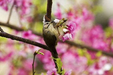 Taiwan Yuhina attract honey of pink cherry blossoms tree in forest ,Yuhina brunneiceps Stock Photo - 18044047